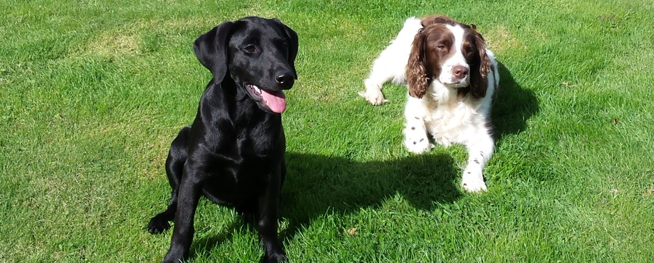 Black labrador with brown and white spaniel on grassy field